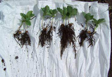 Pupinių javų auginimo technologijos ekologiniame ūkyje